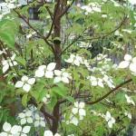 常緑ヤマボウシの花