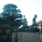剪定前:門前の立派な松の木です