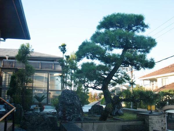 シンボルとなる立派な松の木【剪定】-豊中市T様邸の施工前