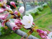 「大阪庭みて歩記」 2010オススメ桜スポット編