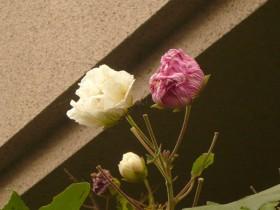 以前ブログでもご紹介させて頂いた 酔芙蓉の花
