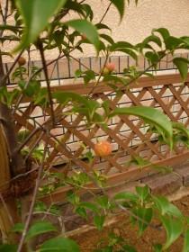 ヤマボウシの葉っぱと実