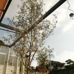 病害虫に強い常緑樹です by江淵