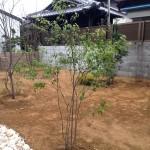 ハイノキの樹形