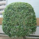 強健な花木で病害虫が少ないです by江淵