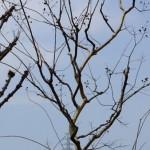 整形樹のマキとモチの間に自然樹形が美しいサルスベリ