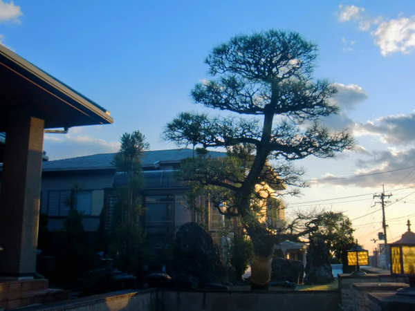 シンボルとなる立派な松の木【剪定】-豊中市T様邸