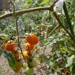 F様の愛情を受けて育った野菜たち。